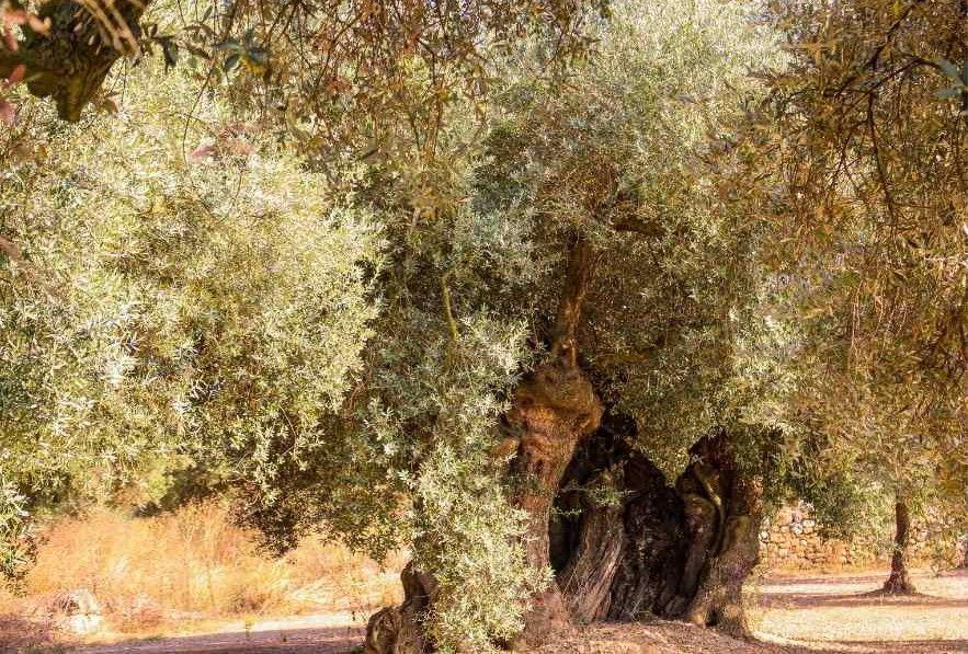 Olivo 1800 años farga