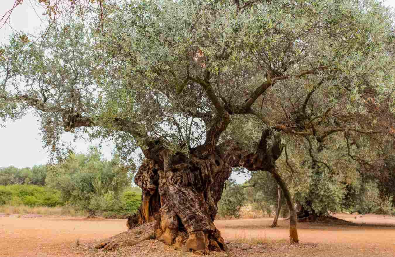 Olivo farga milenario