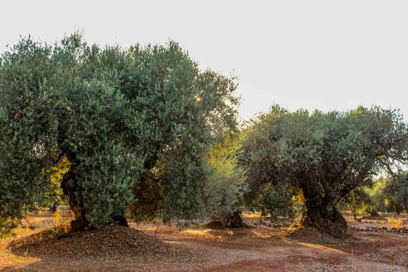 cultivo del olivo milenario