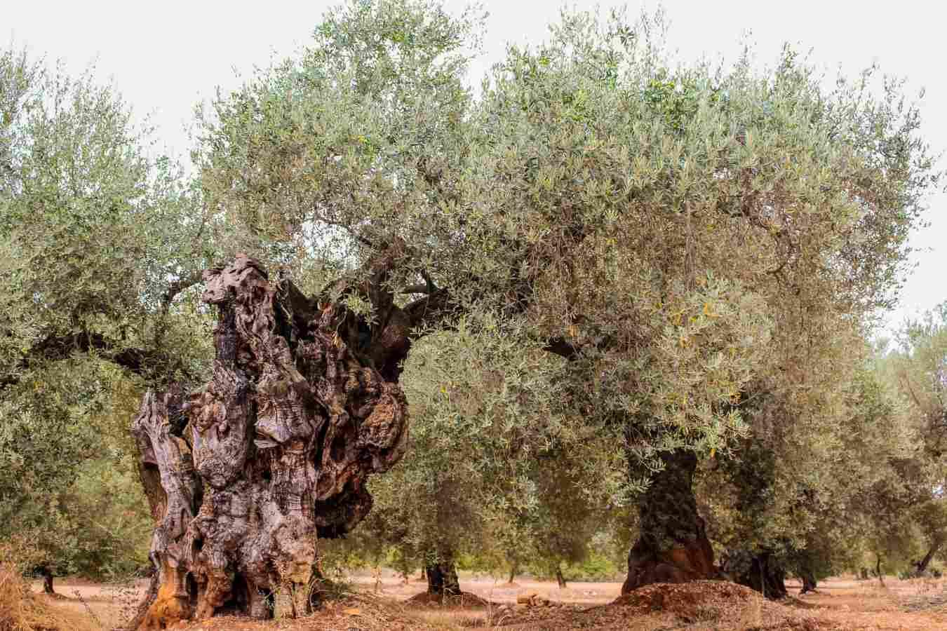 olivos farga dispersion